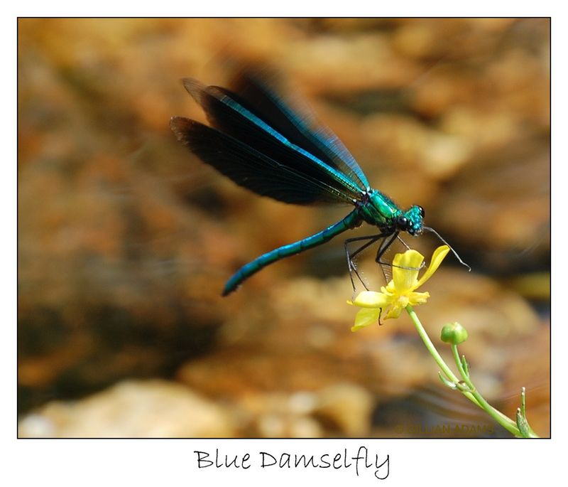 3 dragonfly