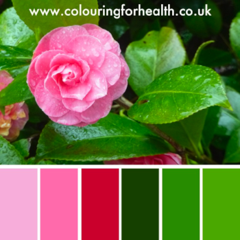 Pink camellia flower palette