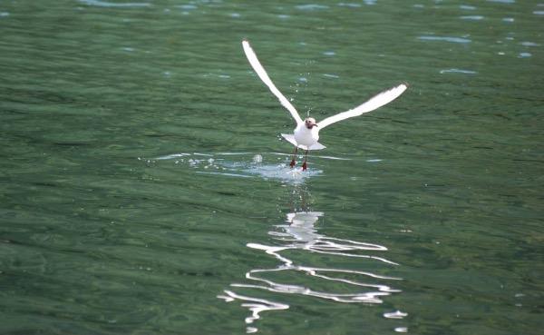 Black-headed gull taking off