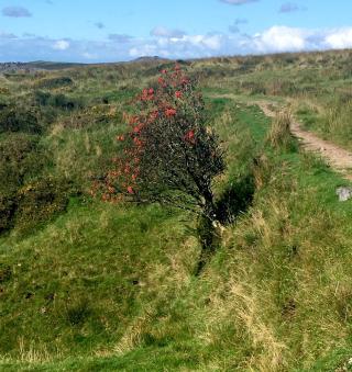 Rowan tree growing on a steep bank
