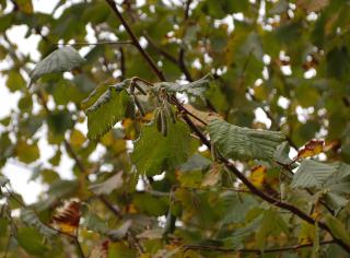 Catkins on a hazel tree © Gillian Adams