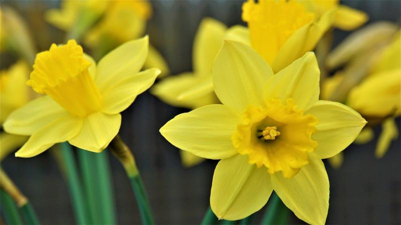 Daffodils feb