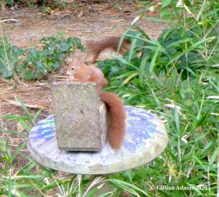 Red squirrel at Tresco
