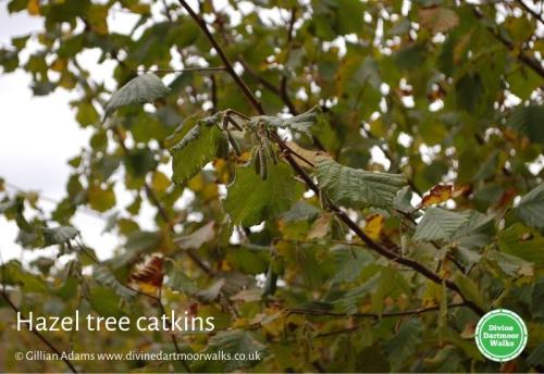 Hazel tree catkins © Gillian Adams